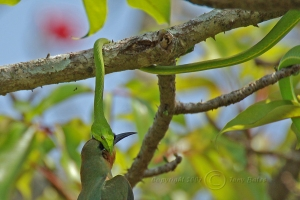 Goa - Green Tree Snake 6